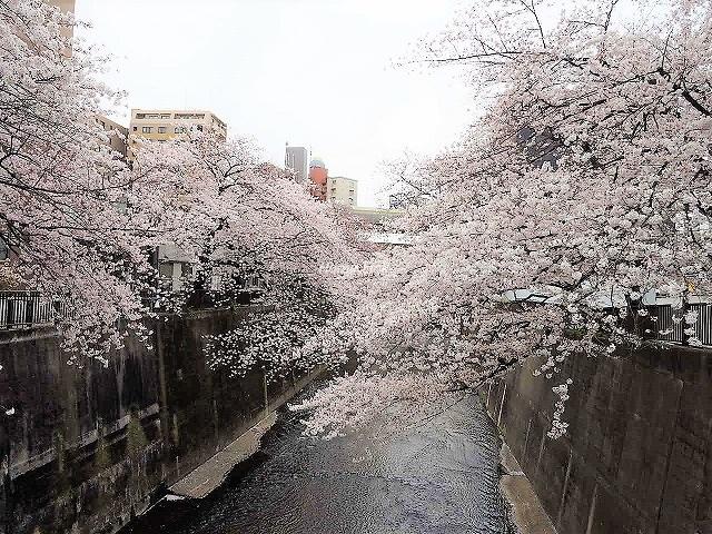 イニシア板橋区役所前周辺環境 石神井川の桜並木